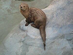 Marine otter - Image: Lfelina