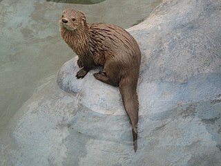 Marine otter Species of South American mammal (Lontra felina)