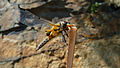 Libellula quadrimaculata (5).jpg