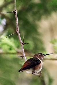 Lightmatter hummingbird.jpg