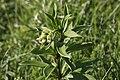 Lilium martagon, Chasseron - img 25785.jpg