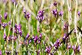 Linaria canadensis04.jpg
