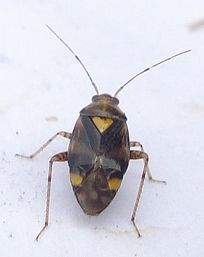Description de l'image Liocoris tripustulatus.jpg.