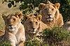 Lions Family Portrait Masai Mara.jpg