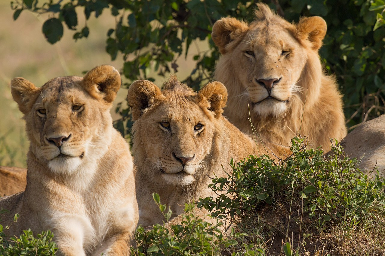 Lion - Wikiwand