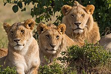 Panthera leo roosevelti