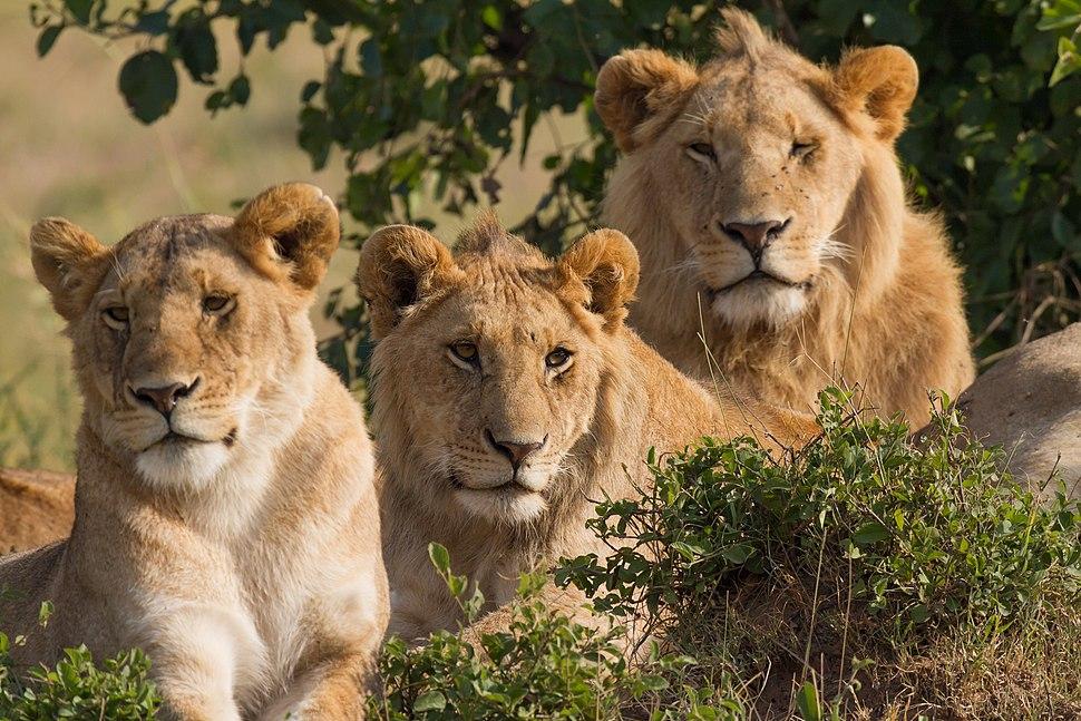 Lions Family Portrait Masai Mara