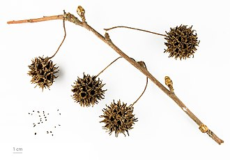 Liquidambar - L. styraciflua inflorecences on stem
