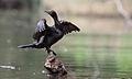 Little Black Cormorant - Phalacrocorax sulcirostris (7017283253).jpg