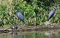 Little Blue Herons (33512761553).jpg