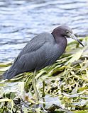 Little blue heron (nonbreeding).jpg
