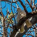 Little corella at Boulia Wildlife Haven Herbert St Boulia Queensland P1030437.jpg