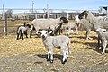 Livestock32.tif (27098001319).jpg