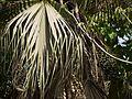 Livistona chinensis (4591317071).jpg