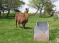 Llama at Little Dartmouth - geograph.org.uk - 806692.jpg