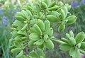 Lomatium dissectum var. dissectum green fruit.jpg