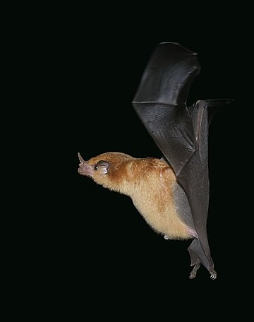 Orange nectar bat Lonchophylla robusta.jpg