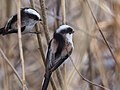 Long Tailed Tits エナガ (244099419).jpeg