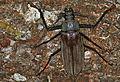 Longhorn Beetle (Xixuthrus microcerus) (8756596643).jpg