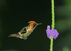 Lophornis ornatus -Asa Wright Nature Centre, Northern Range, Trinidad, Trinidad and Tobago-8.jpg