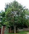Lophostemon confertus, habitus, Pretoria, b.jpg
