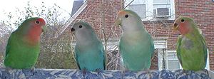 Lovebird - Green- and blue-series peach-faced lovebirds: two parents with their two recently fledged chicks