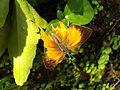 Loxura atymnus yamflyopenwing.JPG