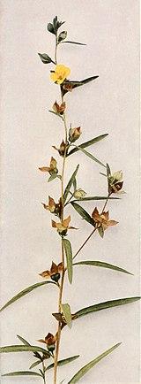 Ludwigia alternifolia WFNY-145B.jpg