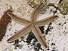 The gray sea star (Luidia clathrata)