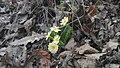 Lule e para të pranverës ( lug të bunarit ) - panoramio.jpg