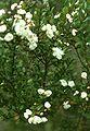 Luma apiculata.jpg