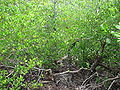 Lumnitzera racemosa2.jpg