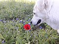 Luna White Pyriness dog smells red flowers 03.jpg