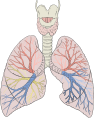 Lungs diagram detailed.svg
