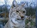 Lynx lynx 20080210.jpg