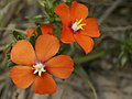 Lysimachia monelli (flowers).jpg