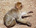 Macaca sylvanus Morocco 3.jpg