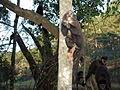 Macaco prego Manduri 060811 REFON 24.JPG