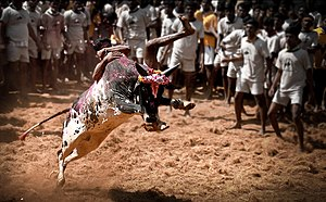 Jallikattu - A youth trying to take control of a bull in Jallikattu at Alanganallur.