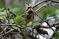 Magnolia Warbler (male) Sabine Woods TX 2018-04-22 10-53-49 (40185443880).jpg