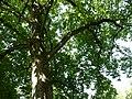 Magnolia acuminata 02 by Line1.jpg