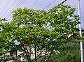 Magnolia denudata4.jpg