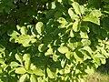Magnolia salicifolia.jpg