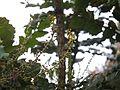 Mahonia leschenaultii (6369870667).jpg