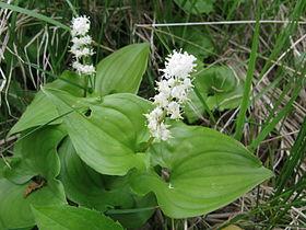 Maianthemum dilatatum, Japan 1.JPG