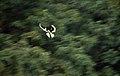 Malabar Pied Hornbill DSC 0269 filtered.jpg