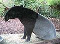 Malayan Tapir Sitting.jpg