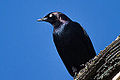 Male Brewer's Blackbird (euphagus cyanocephalus) (8157027688).jpg