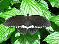 Male Common Mormon butterfly at the Niagara Parks Butterfly Conservatory, 2010 B.jpg