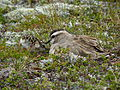 Male Dotterel with chick.jpg